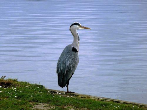 paukštis,mėlyna giraitė,babu,plunksnos,griovys