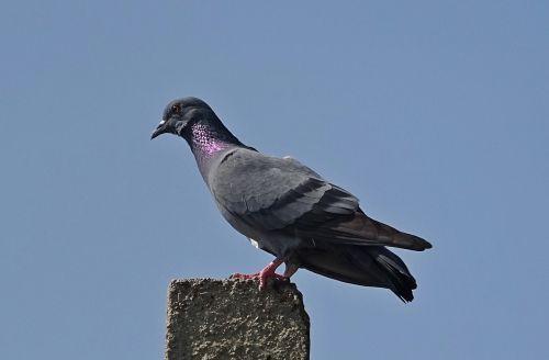 paukštis,roko balandis,roko balandis,columba livia,columbidae,balandis,paukštis,haspur,Indija