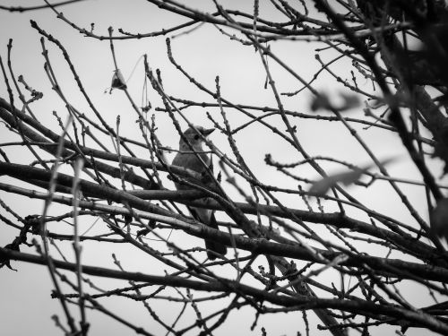paukštis,filialai,tamsa,niūrus,juoda balta,ruduo