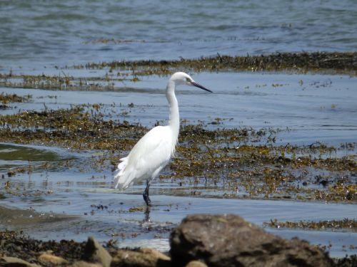 paukštis,didžioji egret,Wader