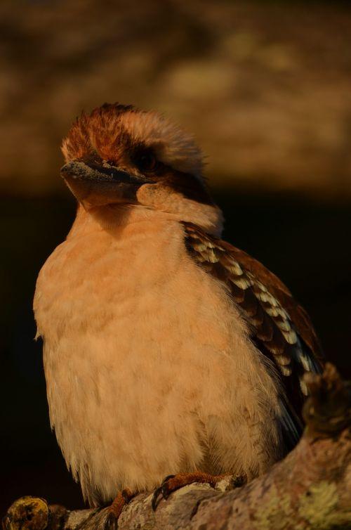 Paukštis, Laukiniai, Plunksnos, Kookaburra, Gyvūnas, Sparnai, Australia, Australijos Gimtoji Paukštis, Queensland, Australijos Fauna, Fauna, Snapas