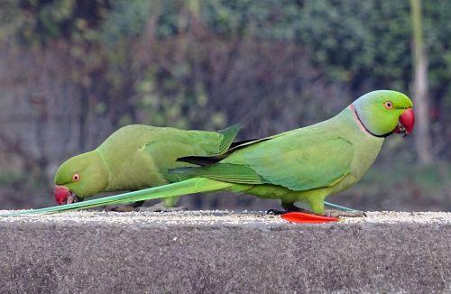 paukštis,parakeet,žalias,atogrąžų,papūga,fauna,rožinės spalvos parapetė,pikšo krameriai,žiedinis kaklo paragetas,delhi,Indija