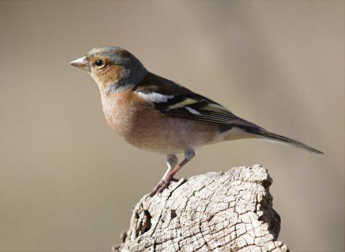 Paukštis, Fauna, Toskana