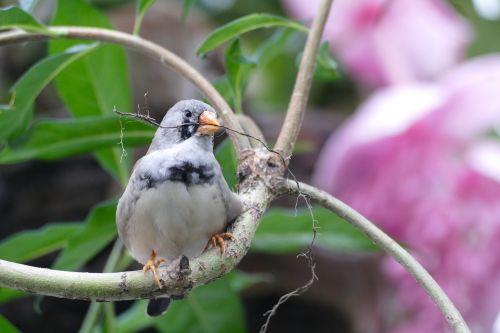 paukštis,rengia,namas,laukimas,dėl,vasara