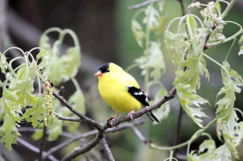 paukštis,aukso žievė,paukštis,laukiniai,finch,laukinė gamta,daina,daina paukštis,gamta,sustingęs,filialas,plumėjimas,geltona,šviesus