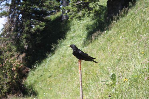 paukštis,juoda,Šveicarija,bergdohle,gamta,gyvūnas,juoda paukštis,Alpių