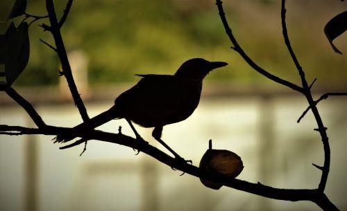 paukštis,pienelis,filiale,kreminės oranžinės spalvos,žinau oranžinę,atogrąžų paukščiai,Brazilijos paukštis,atogrąžų paukštis,žiūri