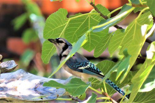paukštis,mėlyna ir balta,mėlyna jay,laukinė gamta