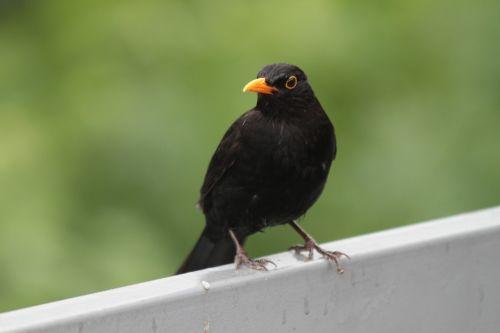 paukštis,juoda paukštis,giesmininkas,gamta,juoda,sąskaitą,geltonas snapas,laukinės gamtos fotografija,sėdi,juoda paukštis