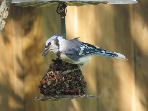 paukštis,mėlyna jay,mėlyna ir balta,laukinė gamta
