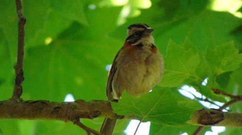 paukštis,gamta,tatu,atogrąžų paukščiai,paukštis,gyvūnai,paige,atogrąžų paukštis,kanarika,siena,Earwig,arara,gyvūnas,geltonieji paukščiai,juoda paukštis,ekologija,pelėdos,grifas,Chopi juodasis paukštis,užpuolimas,grackle,paukščiai bučiavosi,bemtevi