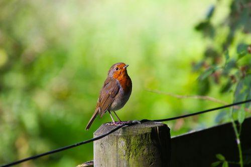 paukštis,robin,laukinė gamta,gamta,gyvūnas,laukiniai,sodas,raudona juosta,natūralus,žalias,buveinė,snapas,sparnas,vasara,mažas,paukščių stebėjimas,ornitologija,laukinė gamta-fotografija,mažai,mielas,oranžinė,ruda,mažas paukštis