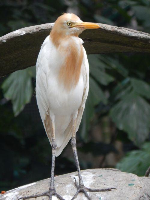 paukštis,konservuoti,balta,gamta,išsaugojimas,laukiniai,snapas,oranžinis snapas,kranas,egzotiškas,bubulcus ibis,kuntul kerbau,ardeidae,rūšis