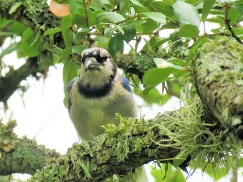 paukštis,mėlyna jay,medis,laukinė gamta,mėlyna ir balta