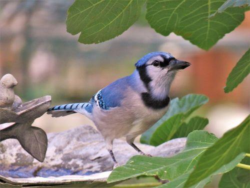 paukštis,mėlyna jay,laukinė gamta,mėlyna ir balta