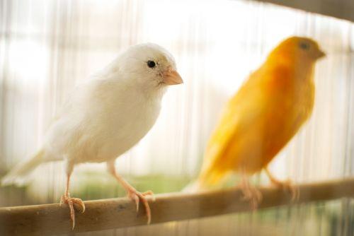 paukštis,kanarika,geltona kanarėlė,gamta,paukštis,gyvūnai,geltona,paige,atogrąžų paukštis,gyvūnų pasaulis,Brazilijos fauna,canario,aplinka,atogrąžų paukščiai