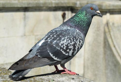 paukštis,balandis,gyvūnas,miestas,laukiniai,stovintis,lauke,paukštis,columba livia domestica