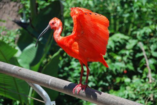 paukštis,vandens paukštis,heronas,raudona,ryškiai raudona,gamta,seevogel,gyvūnas,sąskaitą,zoologijos sodas,pinnate,ryškus,laukinės gamtos fotografija,didelis snapas,egzotiškas,gražus,temniken,Buenos Airės,Pietų Amerika,argentina,raudona ibis,blizgus ibis,ibis,raudona ibis,eudocimus ruber,raudona,raudona raudona