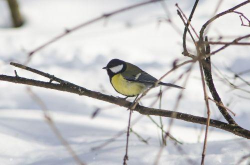 paukštis, gamta, gyvoji gamta, lauke, žiema, gyvūnai, rašiklis, medis, giesmininkas, sparnas, sniegas, mažai, sezonas, snapas, laukiniai, šunys, berniukas, laukinė gamta, Iš arti, portretas, plunksnos rasės, paukščiai, galva, Niekas, maža paukštis, be honoraro mokesčio