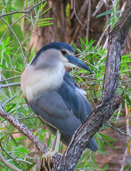 paukštis, laukinė gamta, gamta, snapas, naktinis heronas, laukiniai, sparnai, gyvūnas, plunksna, paukščiai, Iš arti, migrantas, mielas, gražus, lauke, natūralus, vis dar, snapas, be honoraro mokesčio