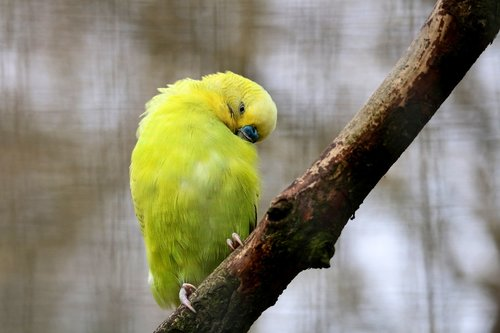 paukštis, Gyvūnijos pasaulyje, pobūdį, sparnas, Parrot, plunksna, Bill, Tropical, vogelartig, Iš arti, graži, paukščiai, mažas, geltona, egzotiškas, spalvinga, egzotiškas paukštis, mažas paukštelis, mielas, plunksnos, jauna paukštis