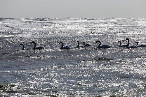 paukštis, gulbė, jūra, Gyvūnijos pasaulyje, gulbės, vanduo paukštis, balta gulbė, jauni gulbės, gulbė šeimos, Didžiuojuosi, kad gulbė, jauna gulbė, Bornholmas, papludimys, pakrantė