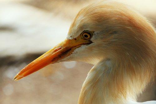 paukštis, paukščių stebėjimas, ilgai, snapas, ilgas kaklas, gražios akys, akys, didelės akys, mygtukas akys