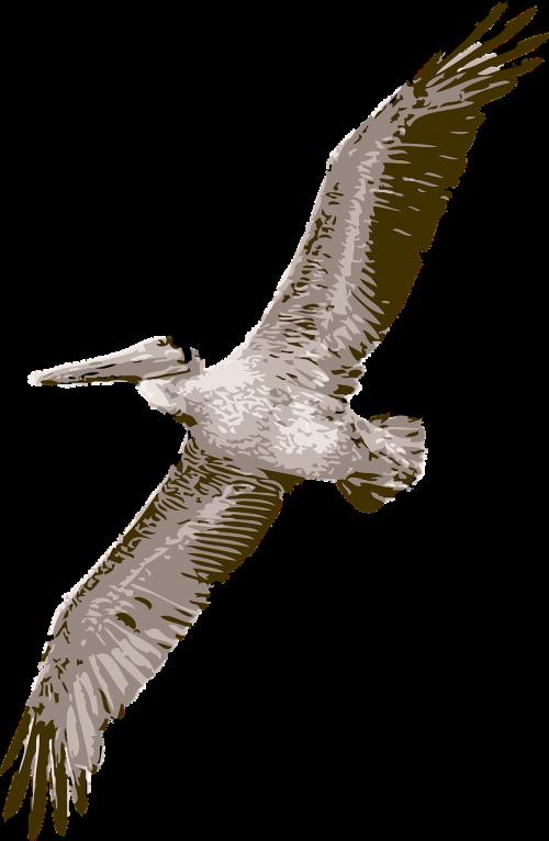 paukštis,pelican,gamta,laukinė gamta,plunksna,natūralus,paukštis,sparnas,jūros paukštis,vandens paukštis,aplinka,lauke,didėjantis,skraidantis,zoologijos sodas,nemokama vektorinė grafika