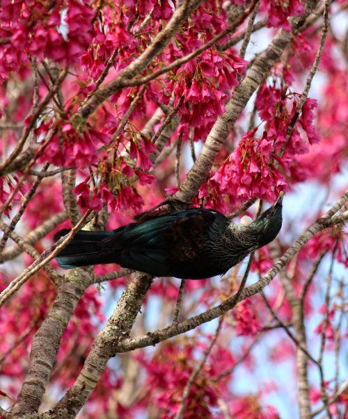 paukštis,žiedai,tui,gėlė,pavasaris,rožinis,sezoninis,filialas,natūralus,medis,flora,balta,lauke