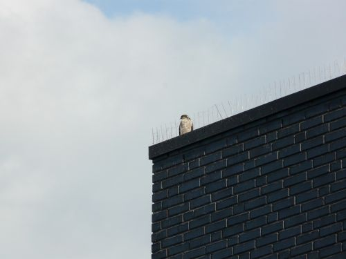 paukštis, stogas, erškėčių, metaliniai antikūnai
