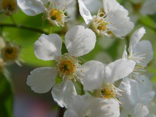 paukščių-vyšnių medis,baltos gėlės,makro,makrofotografija,Iš arti,pavasaris,žydėti