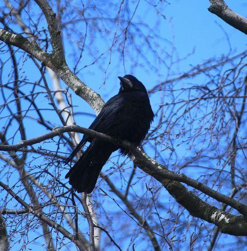 paukščių lizdai, varna, lizdai, varna lizdai, paukščiai, lizdas, gyvūnai, gyvūnų pasaulis
