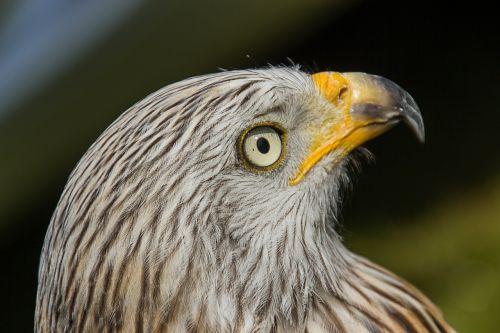 plėšrusis paukštis,akis,paukštis