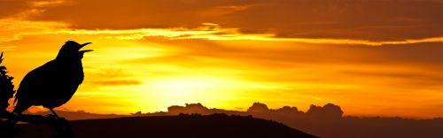 paukštis, juoda paukštis, saulėtekis, dainuoti, siluetas, rytas, dangus, oranžinė, gražus, juoda, gamta, medis, filialas, kontūrai, figūra, Laisvas, viešasis & nbsp, domenas, paukštis dainuoja saulėtekyje