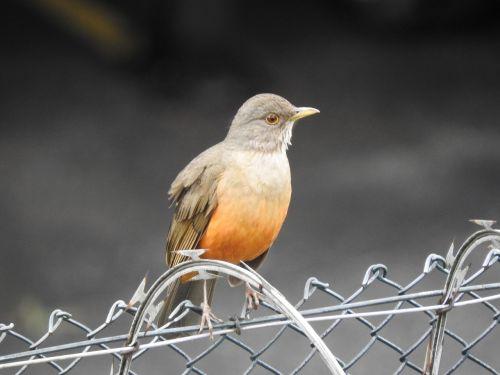 paukštis,Brazilijos paukštis,žinau oranžinę,atogrąžų,atogrąžų paukščiai,paukštis,laisvė