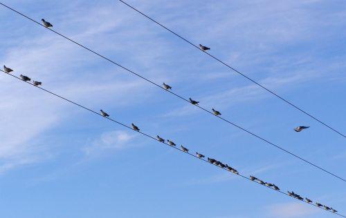 paukščiai,elektros kabeliai,balandžiai,kabeliai,elektrinis,linijos,gyvūnai,dangus,gamta