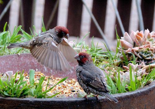 sodo paukščiai,skraidantis,spalvinga