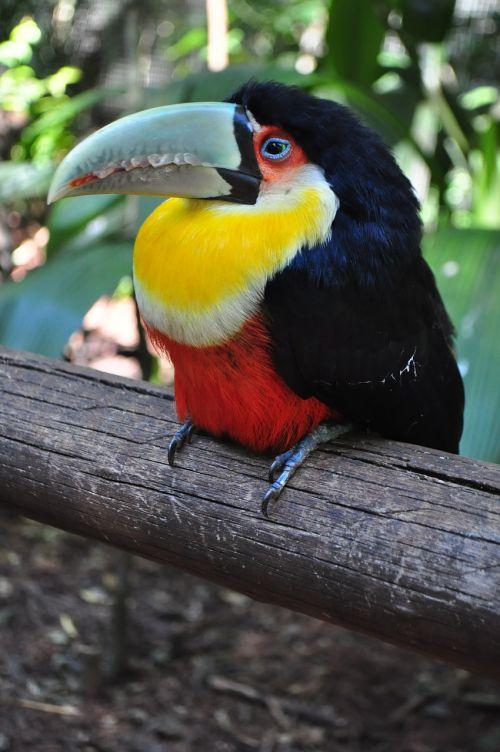 Paukščiai, Tucano, Brazilija, Paukštis, Gamta, Didelis Snapelis, Miškas, Gyvūnai, Zoologijos Sodas, Fauna, Brazilijos Fauna, Brazilijos, Ilgas Snapelis, Atogrąžų Paukščiai