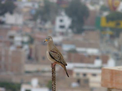 paukščiai,paloma,vadovauti