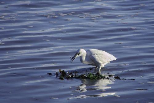 paukščiai,Wader,Egret