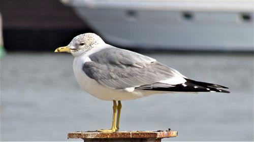 paukščiai,jūrų,marti,papludimys,taika,gamta,gyvūnas,laukiniai,kajakas,kepalas paukštis,paukštis,v,saulės energija