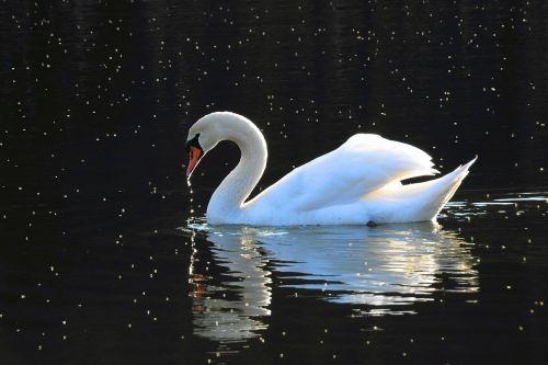 paukščiai, ežeras, atspindėta banga, saulėlydis, be honoraro mokesčio