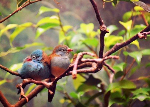 paukščiai, meilė, gyvūnas, pobūdį, Romantika, romantiškas, pora, mėgėjai, laimė