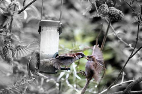 paukščiai,žvirbliai,plunksnos,šurmulys,kovoti,kovos,krūvos,filialas,tiektuvas,sėkla,spalva