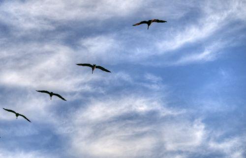 paukštis, paukščiai, skraidantis, dangus, siluetas, siluetas, paukščių siluetas