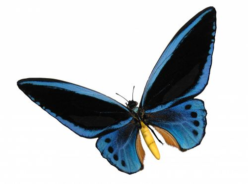 drugelis, drugeliai, birdwing & nbsp, drugelis, gyvūnas, vabzdys, padaras, būtybių, gamta, birdwing mėlyna drugelis