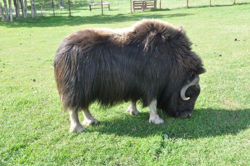 bizonas,gyvūnas,žinduolis,laukinė gamta,kanopas
