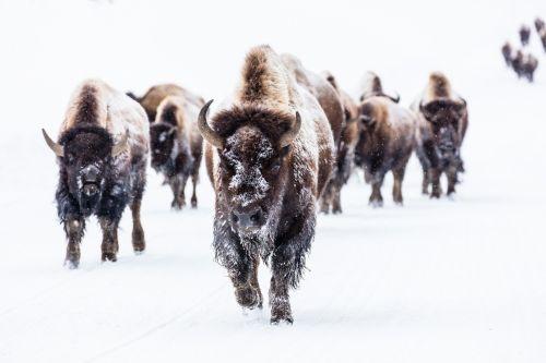 bizonas, buivolai, bandas, sniegas, žiema, vaikščioti, viešasis & nbsp, domenas, tapetai, fonas, kepti & nbsp, pan & nbsp, pavasarį, yellowstone & nbsp, nacionalinis & nbsp, parkas, Vajomingas, usa, kelias, bizonas