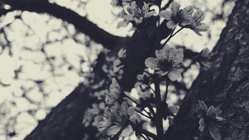 juoda,juoda balta,žydėti,žydi,filialas,žydėjimas,gėlės,žiedlapis,plumb,dangus,medis,medžiai,vintage,balta,mediena