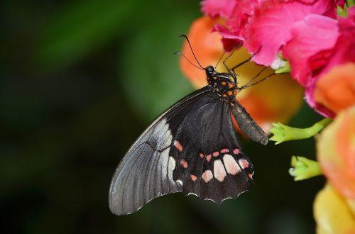 juoda,drugelis,skristi,vabzdys,drugeliai,gyvūnas,skraidantis vabzdys,sparnas